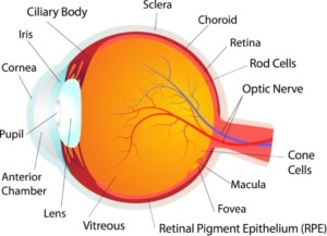 Diagram of the anatomy of the eye
